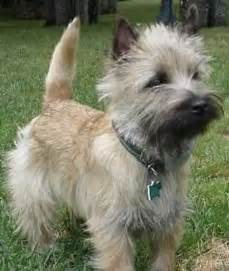 brindle cairn haircut welcome to annabel s canine blog where the place goes to