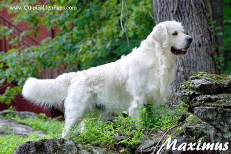golden mist retrievers white golden retriever pups ct akc certified holistic nj md ma pa de ny ca az tx nh ri