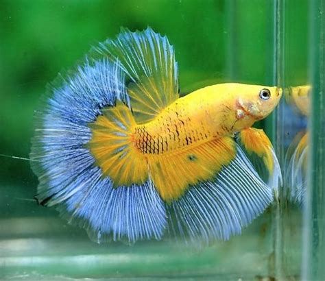 Betta Splendens Cupang Hias Plakat Koi Galaxy yellow butterfly aw he d go perfectly in my kitchen