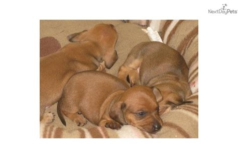 dachshund puppies nj dachshund mini puppy for sale near south jersey new jersey c9e95417 49a1