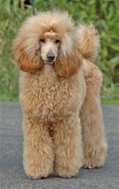 poodles long hair in winter miniature poodle teddy bear cut yahoo search results