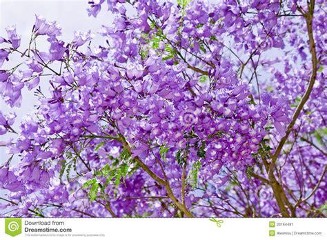 imagenes de flores jacaranda flores del jacaranda imagen de archivo imagen 20164481
