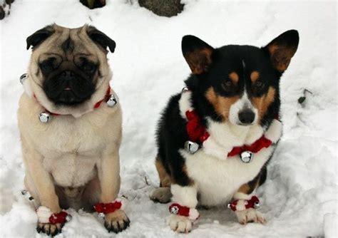 corgi pug pug corgi dogs merry we