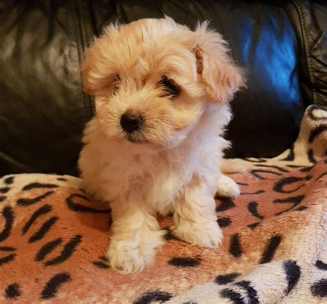 bolognese puppies for sale bolognese x havanese puppies for sale newport newport