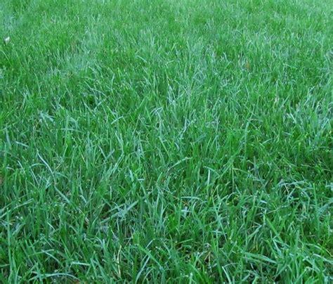 top 28 fescue sod grass alternatives keep off the grass bob vila tall fescue sod shan gri