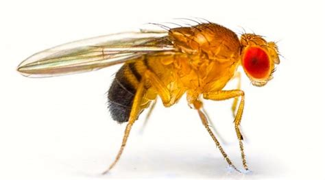 fruit fly infestation in bathroom an infestation of flies arnold zwicky s blog