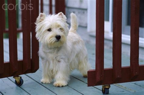 1000 images about dogs don t shed on westies