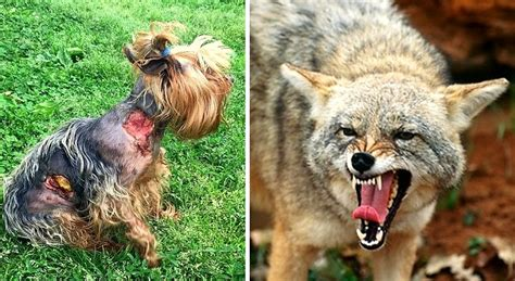 coyote attacks tiny yorkie survives coyote attack