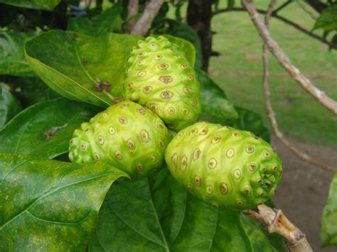 Teh Noni 5 big health benefits of noni fruit