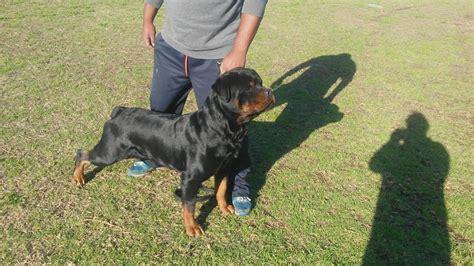 rottweiler gumtree rottweiler puppies for sale gumtree south africa