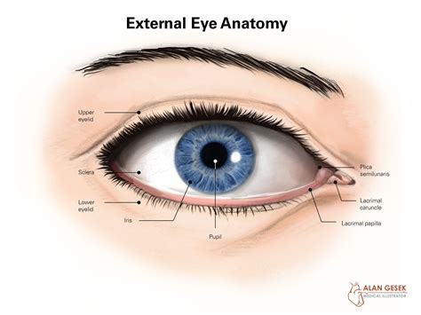 outer eye diagram external structure of eye diagram external anatomy of the