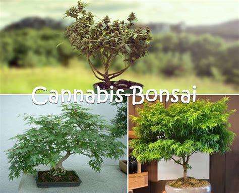 bonsai selber ziehen bonsai bonsai selber ziehen nett on innerhalb mein sch 246 ner