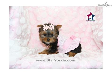white teacup yorkie puppies the gallery for gt baby teacup yorkies