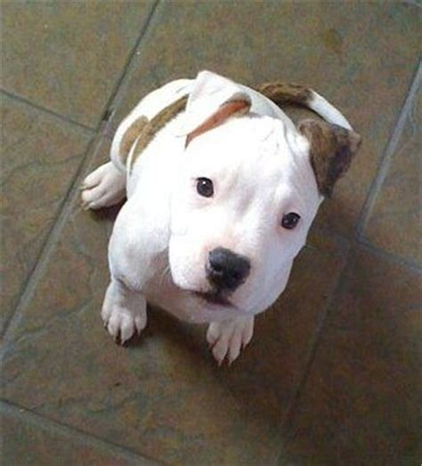 cute pitbull dog puppies fallinpets