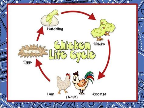 cycle of a cat diagram chicken and cat cycle for upload