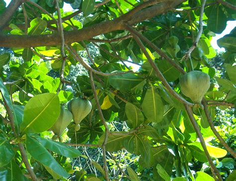 fruit of a poisoned tree tropical plant pictures barringtonia asiatica sea poison