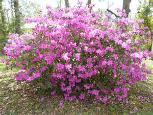 azalea bush colors 301 moved permanently
