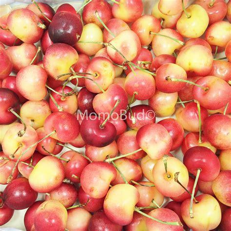 Cherry White cherry and white related keywords cherry and white