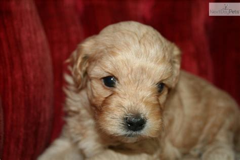 maltipoo puppies for sale nc malti poo maltipoo for sale for 750 near jacksonville carolina d9d1692a 3eb1