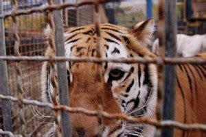 tigre in gabbia spoleto a 5 stelle 187 a spoleto di nuovo un circo con