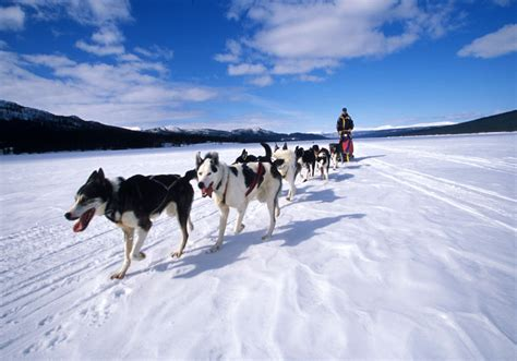how to sled dogs steamboat co colorado sledding sled tours