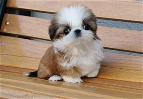 shih tzu puppies for sale evansville indiana pets evansville in free classified ads