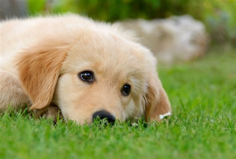 toronto golden retriever breeders puppies to rule bowl 2015 commercials ecorazzi