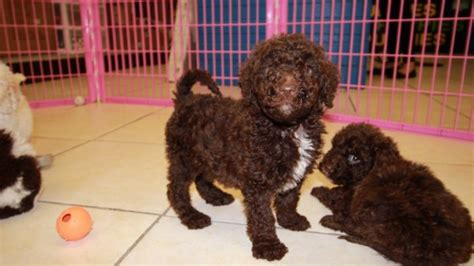 goldendoodle puppies for sale in ga lovely goldendoodle puppies for sale in atlanta ga at puppies for sale