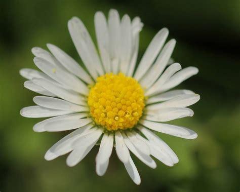 i fiori fiori margherita fiori di piante