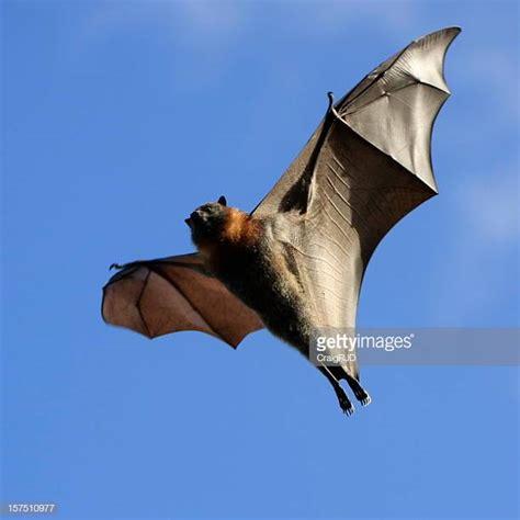 pipistrello volpe volante pipistrello volpe volante foto e immagini stock getty images