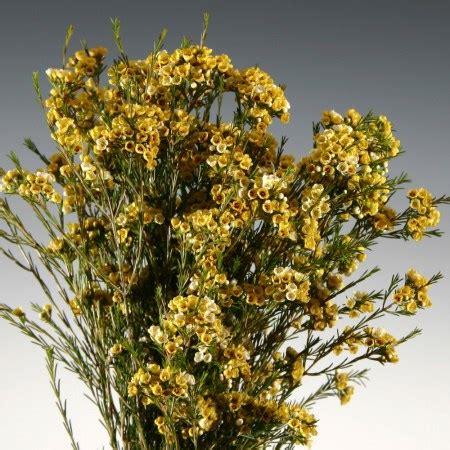 wax flower dyed yellow chamelaucium uncinatum cut flowers sunflora