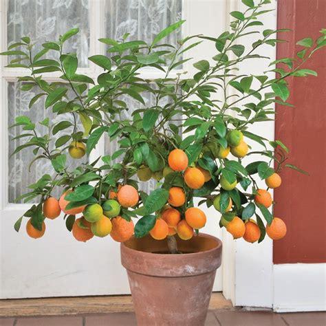tahitian orange citrus  limonia otaheite