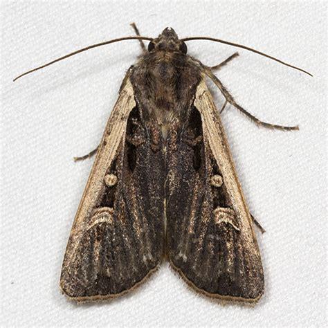 western bean cutworm moth hodges 10878 striacosta