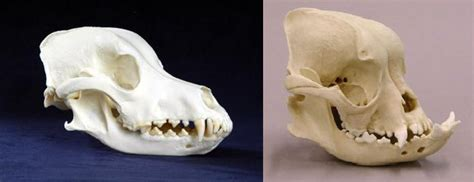 golden retriever skull a brachycephalic bulldog pug s skull versus that of a mesaticephalic golden