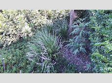 Liriope muscari 'Evergreen Giant' | Alpine Nurseries Liriope Muscari Evergreen Giant