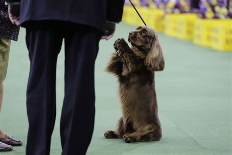 puppy shows from the 2015 westminster kennel club show