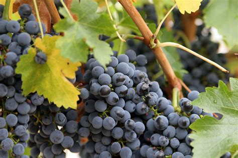 file close up grapes jpg wikimedia commons