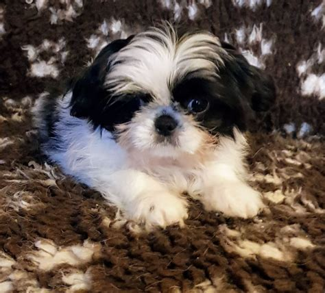 japanese chin x shih tzu cross shih tzu puppies x japanese chin puppy durham county durham pets4homes