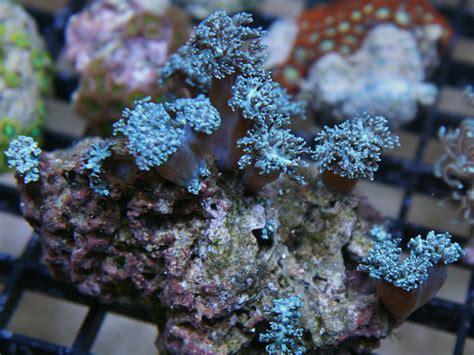 low light corals for sale xenia coral pulsing xenia coral for sale