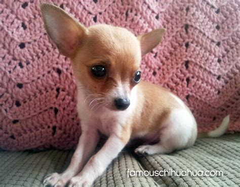 baby chihuahua puppies help save baby bandit the chihuahua puppy in need of surgery
