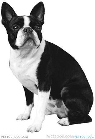 black and white bulldog puppy bulldog black and white puppy