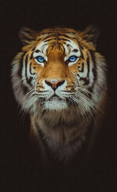 Show Me Your Cat Eye 5 by What Of Big Cat Are You Tigers Cat And Big