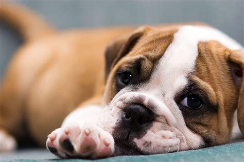 cute dog wallpapers wallpaper wallpapers pinterest dog sfondi per il desktop con animali cani vol 1