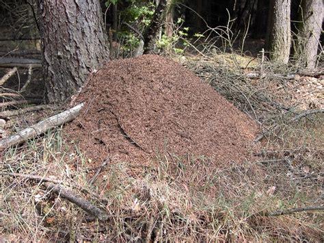 ameisen im rasen wirksam bek mpfen 2436 ameisen im garten vertreiben ameisen vernichten ameisen