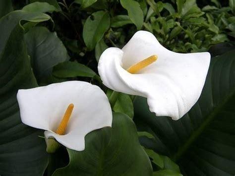 come coltivare le calle in vaso calla zantedeschia aethiopica bulbi calla