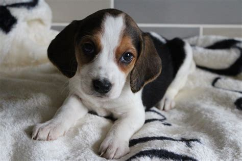 beagle puppies ta sell dogs donegal sell puppies donegal buy and sell puppies in donegal puppies dogs
