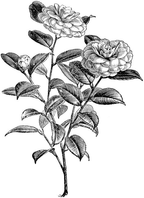 flowering branch of camellia japonica clipart etc