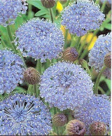 100 blue lace flower island trachymene coerulea flower seeds patio lawn