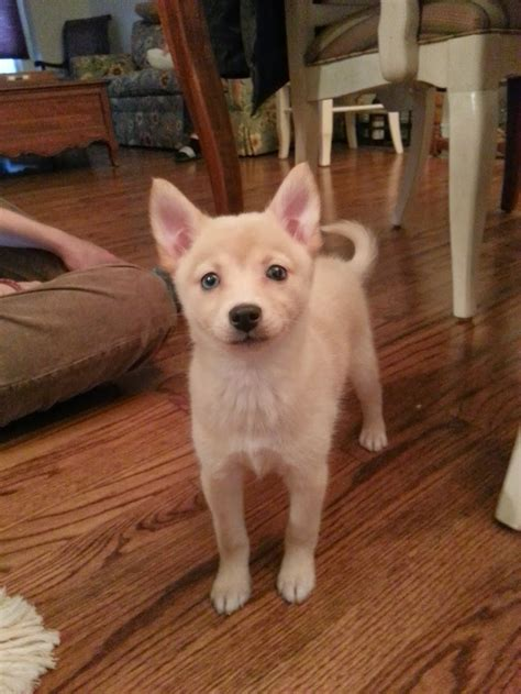 2 month pomeranian just got a 2 month pomsky puppy part husky and part pomeranian name is alaska