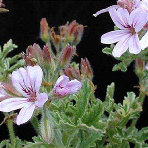 best scented geranium 48 best images about scented geraniums on leaves slide show and the leaf